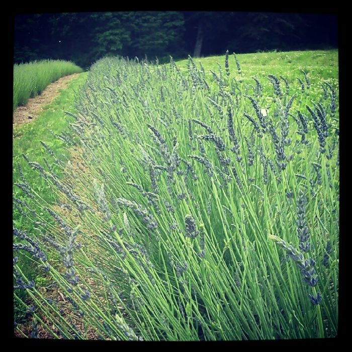 Hope Hill Lavender Farm